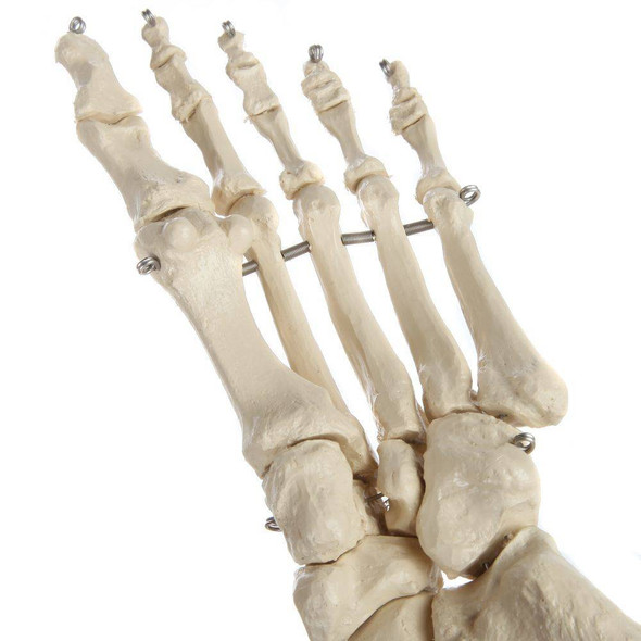 Rudiger Anatomie Premium Foot Skeleton with Portion of Tibia and Fibula 1
