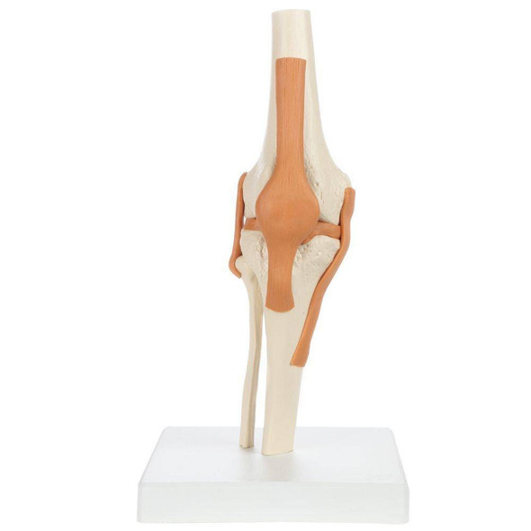 Rudiger Anatomie Premium Functional Knee Joint with Ligaments