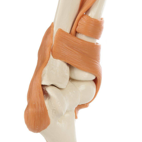 Rudiger Anatomie Premium Functional Elbow Joint with Ligaments 1