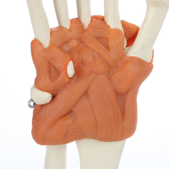Rudiger Anatomie Premium Hand Skeleton with Ligaments 1