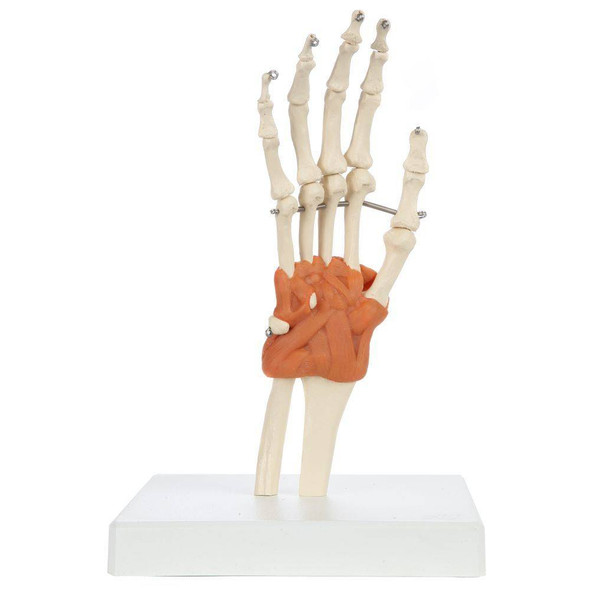 Rudiger Anatomie Premium Hand Skeleton with Ligaments