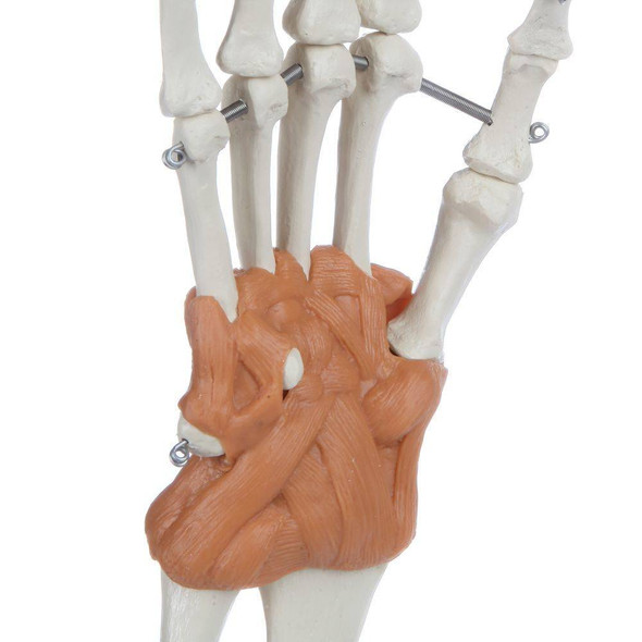 Rudiger Anatomie Premium Arm Skeleton with Full Hand, Ulna, Radius and Ligaments 1