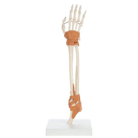 Rudiger Anatomie Premium Arm Skeleton with Full Hand, Ulna, Radius and Ligaments