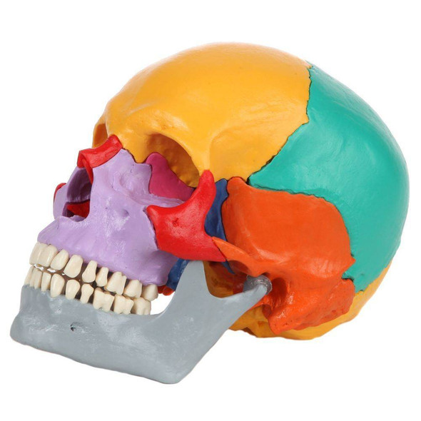 Rudiger Anatomie Premium 18-Part Didactic Human Skull 1