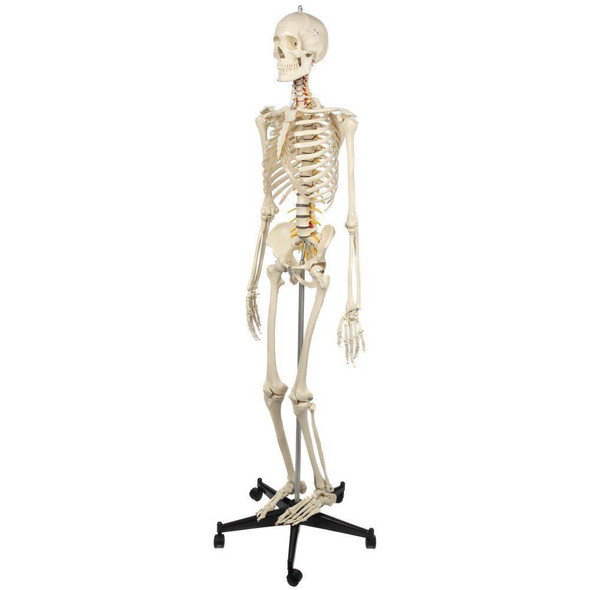 Rudiger Anatomie Premium Highly Flexible Physio Skeleton 1