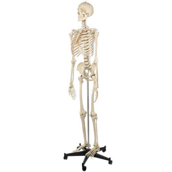 Rudiger Anatomie Premium Lifetime Human Skeleton