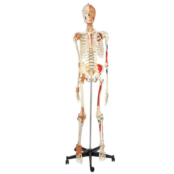 Rudiger Anatomie Premium Deluxe Super Skeleton with Musculature and Ligaments