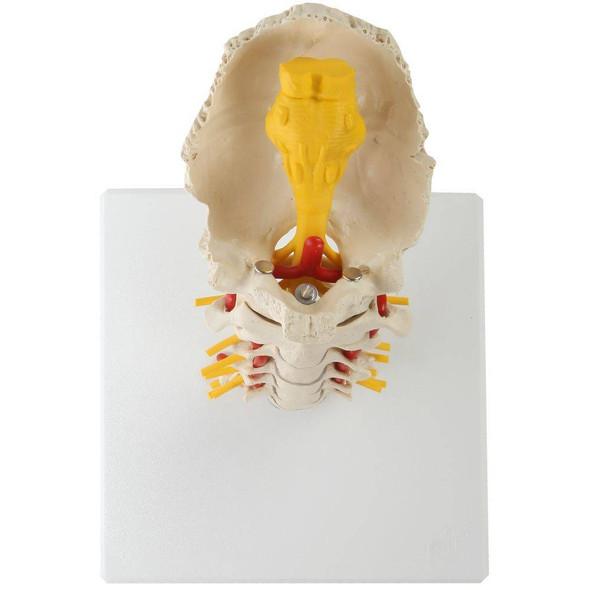 Rudiger Anatomie Premium Flexible Cervical Vertebral Column 1
