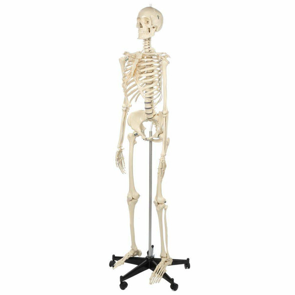 Rudiger Anatomie Premium Female Skeleton 1