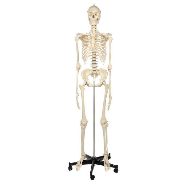 Rudiger Anatomie Premium Female Skeleton