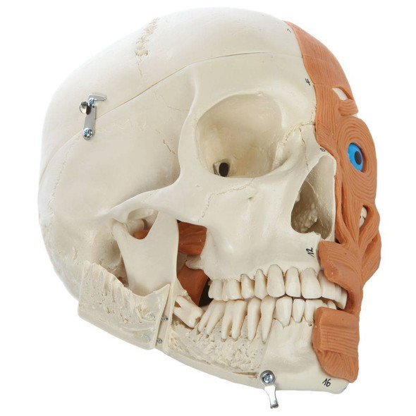 Rudiger Anatomie Premium 4-Part Human Skull with Facial Musculature