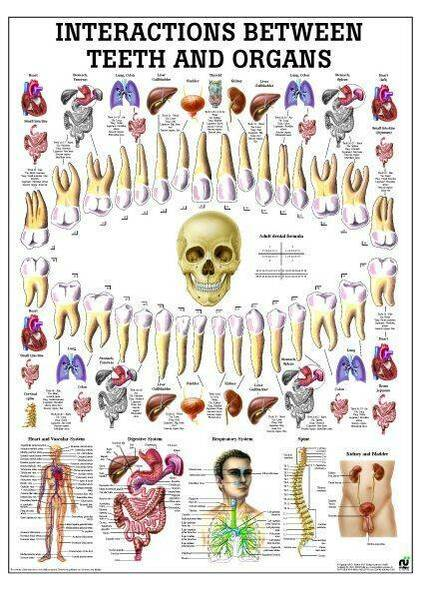 Correlation Between Teeth and Organs Laminated Anatomy Chart