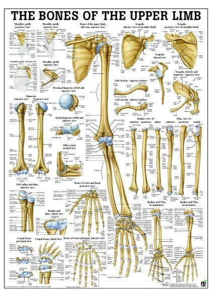 Bones Of Upper Limb Laminated Anatomy Chart
