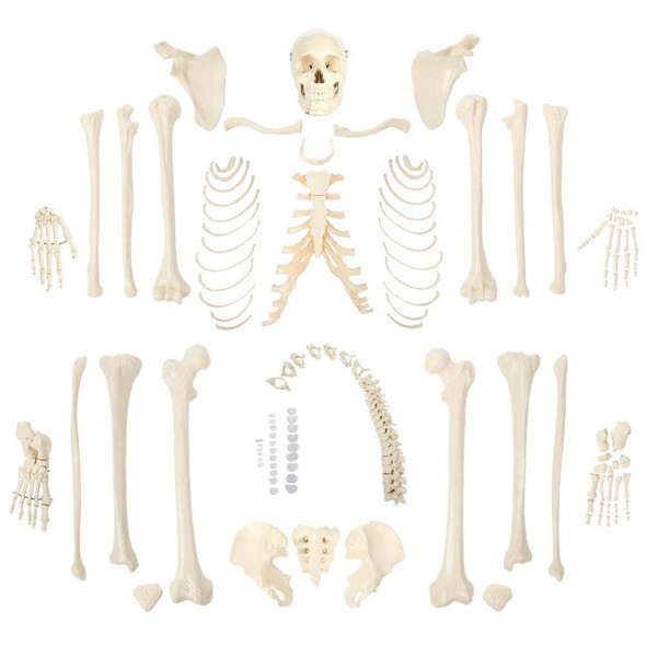 Rudiger Anatomie Premium Complete Disarticulated Skeleton