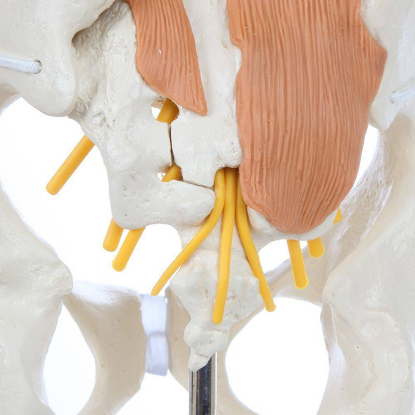 Rudiger Anatomie Premium Pelvic Model with Lumbar Spine Muscles 1