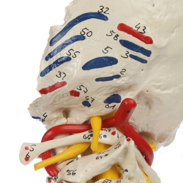 Rudiger Anatomie Premium Painted Flexible Spine with Femur Heads