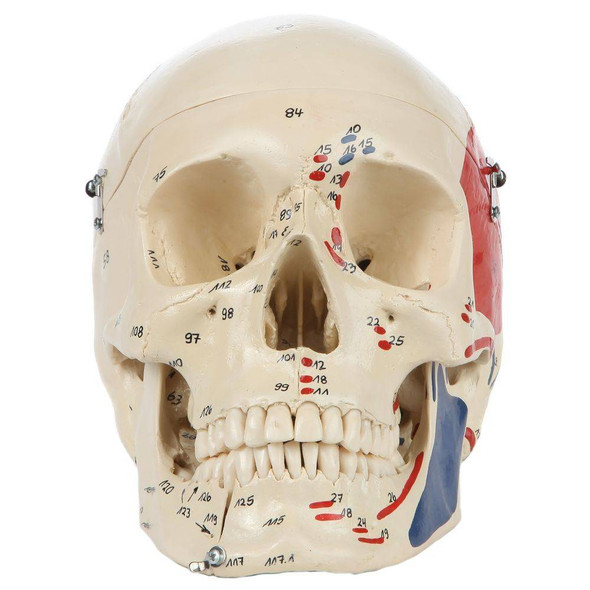 Rudiger Anatomie Premium Painted and Numbered 4-Part Skull