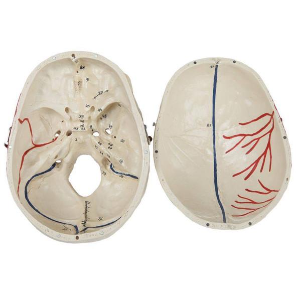 Rudiger Anatomie Premium Painted and Numbered 4-Part Skull 1