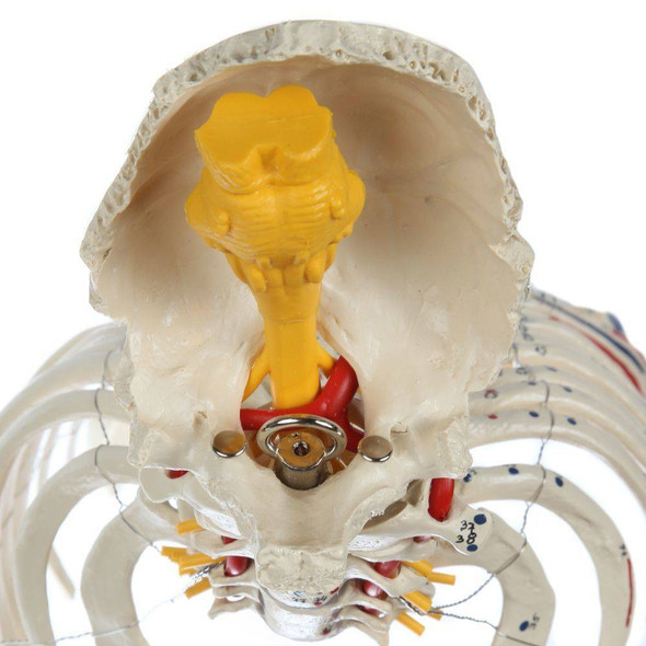 Rudiger Anatomie Premium Painted and Numbered Flexible Spine with Ribs and Femur Heads 1