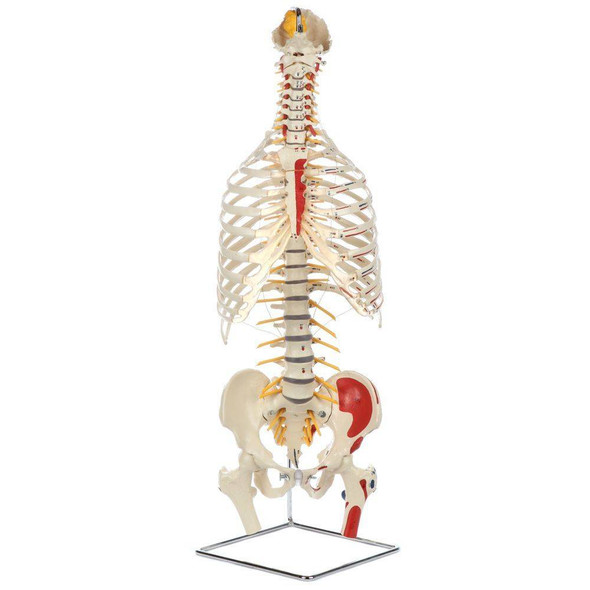 Rudiger Anatomie Premium Painted and Numbered Flexible Spine with Ribs and Femur Heads