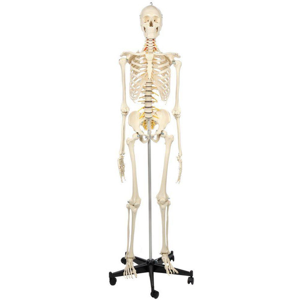 Rudiger Anatomie Premium Flexible Skeleton