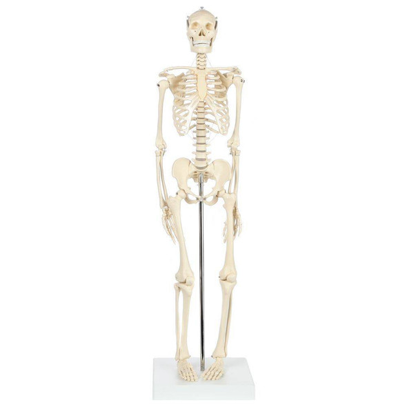 Rudiger Anatomie Premium Miniature Skeleton with Flexible Spine