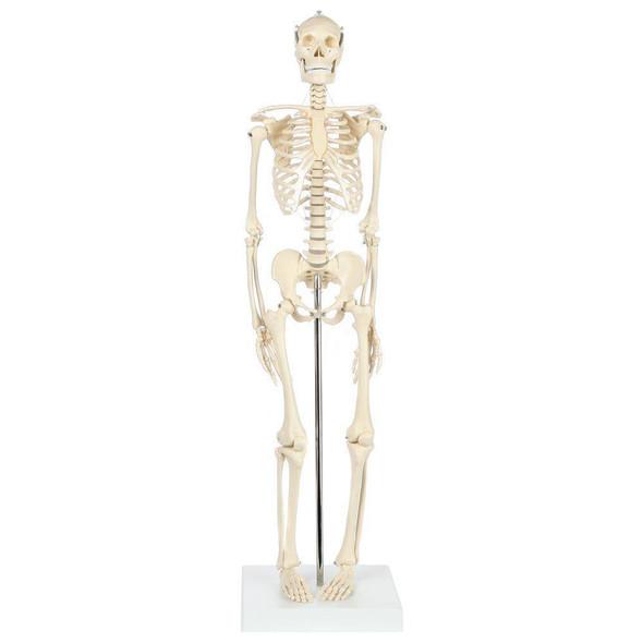 Rudiger Anatomie Premium Miniature Skeleton with Flexible Spine