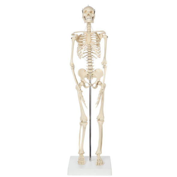 Rudiger Anatomie Premium Miniature Human Skeleton