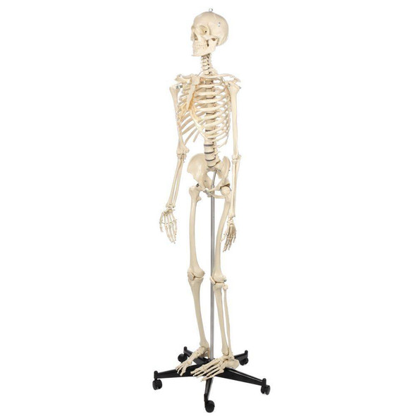 Rudiger Anatomie Premium Standard Human Skeleton with Safety Hardware 1