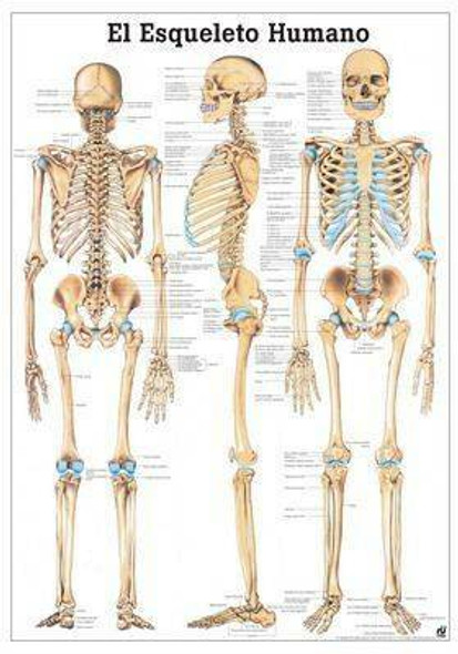 The Human Skeleton Laminated Anatomy Chart El Esqueleto Humano in Spanish