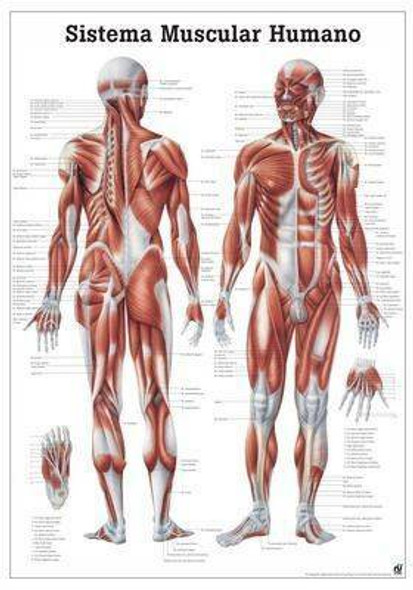 The Human Muscular System Laminated Anatomy Chart Sistema Muscular Humano in Spanish