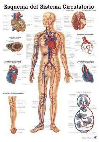The Human Vascular System Laminated Anatomy Chart Esquema Del Sistema Circulatorio in Spanish