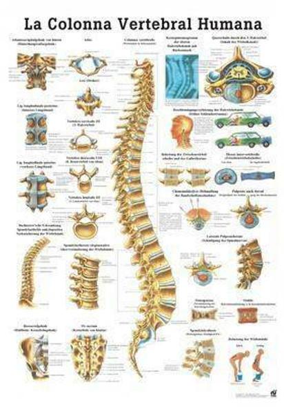 The Human Spine Laminated Anatomy Chart La Columna Vertebral Humana in Spanish