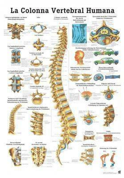 The Human Spine Laminated Anatomy Chart La Columna Vertebral Humana in Spanish