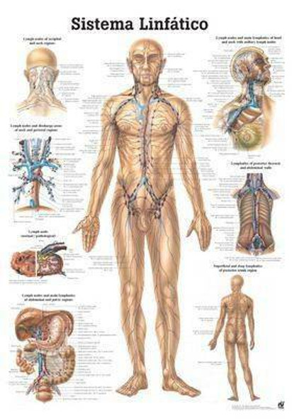 The Human Lymphatic System Laminated Anatomy Chart Sistema Linfatico in Spanish