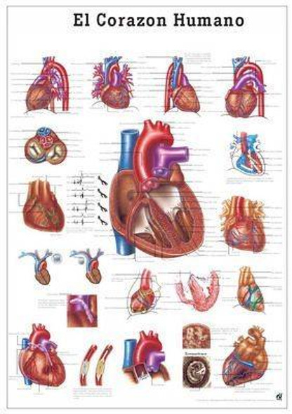 The Human Heart Laminated Anatomy Chart El Corazon Humano in Spanish