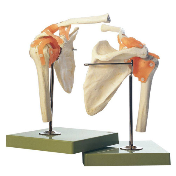 SOMSO Functional Anatomy Model Of The Shoulder Joint