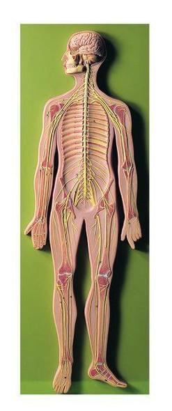 SOMSO Complete Nervous System - 2/3 Life Size