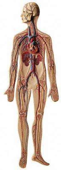 SOMSO Complete Circulatory System - 2/3 Life Size