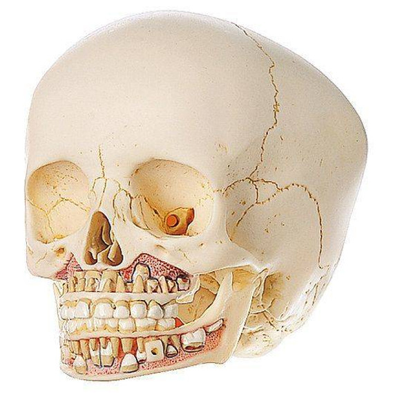 SOMSO Child Skull - 6 Years