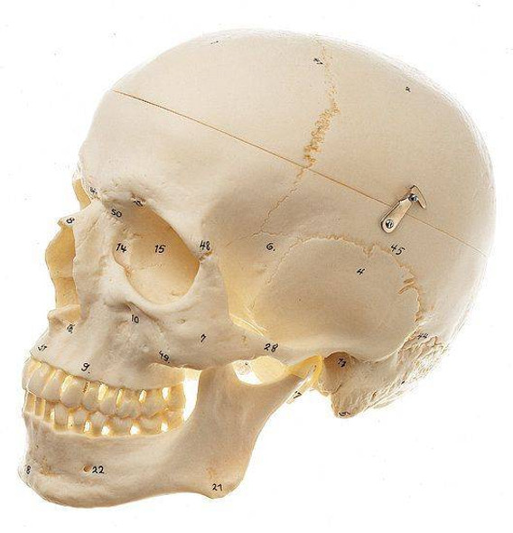 SOMSO Premium Numbered Human Skull