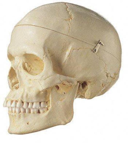 SOMSO Premium Human Skull - Female