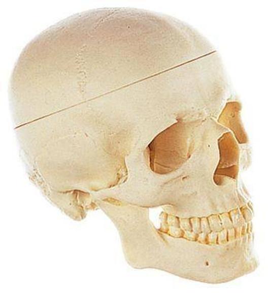 SOMSO Premium Human Skull - Male