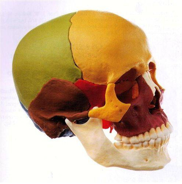 SOMSO Disarticulated Skull in 14 Pieces - Color Version