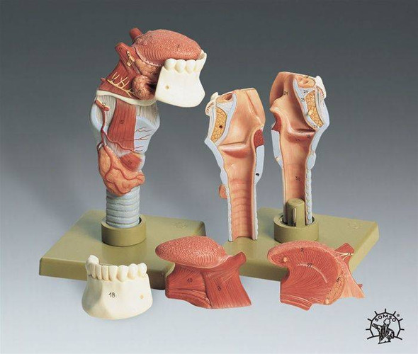 SOMSO Human Larynx with Tongue Premium Anatomy Model
