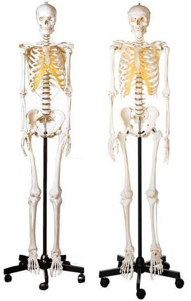 SOMSO Male and Female Skeleton Set