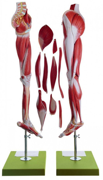 SOMSO Muscles of the Leg with Base of Pelvis