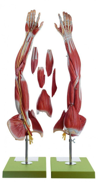 SOMSO Muscles of the Arm with Shoulder Girdle