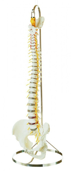SOMSO Vertebral Column with Pelvis