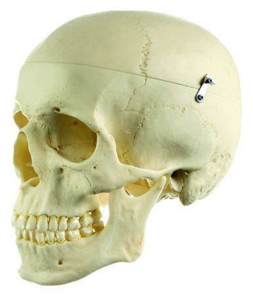 SOMSO Artificial Human Skull - Male